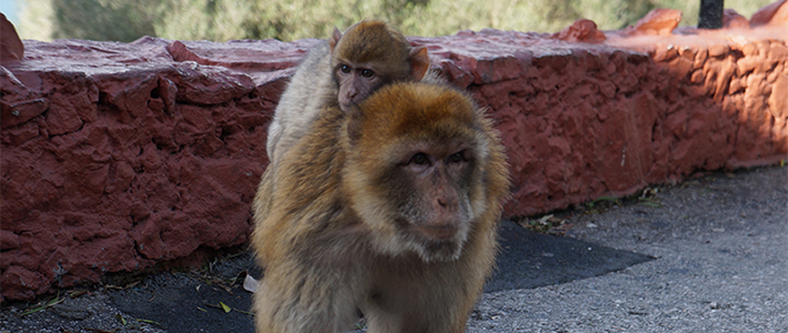 Monkeys at the Rock of Gibraltar